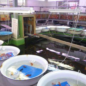 画像:佐々木養魚場の金魚