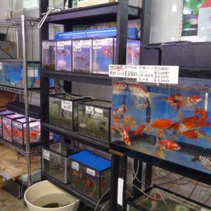 画像:金魚の水槽