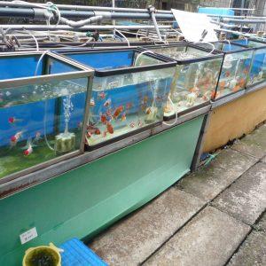 画像:金魚屋さんの金魚